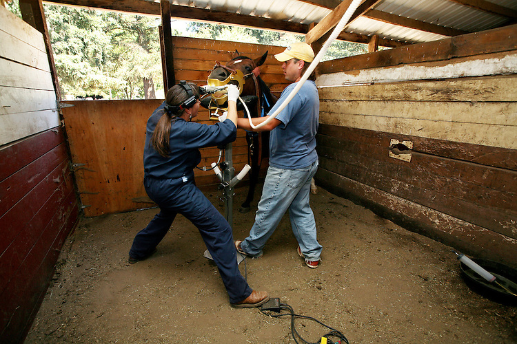 Arabian gelding Cowboy has his teeth corrected by a veterinarian dentist to correct a cantering problem.