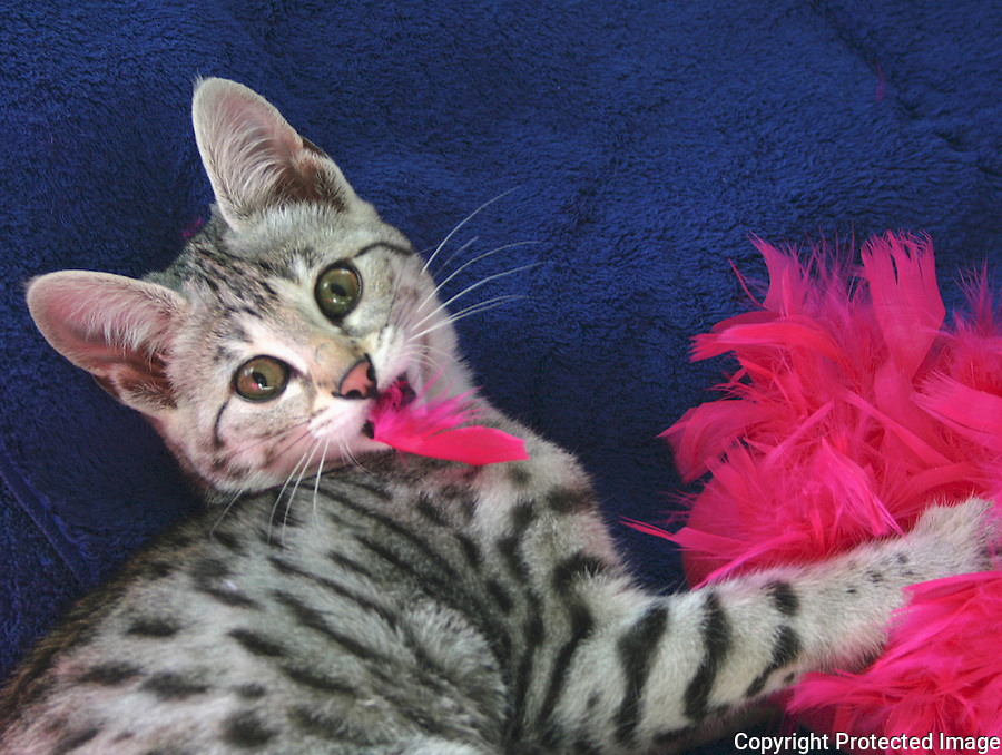 F2 Savannah Kitten with Pink Feathers