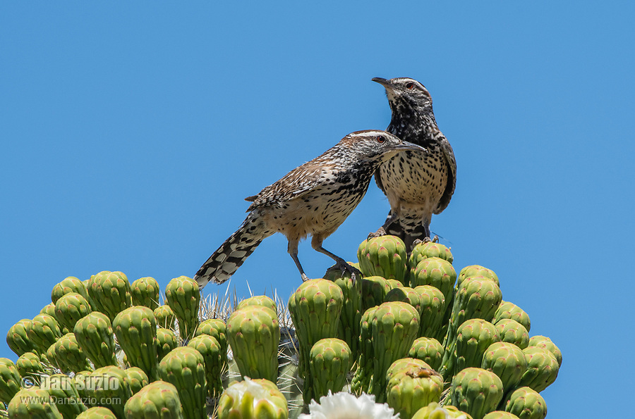Two Cactus Wrens, Campylorhynchus brunneicapillus, perch on a Saguaro cactus, Carnegiea gigantea, in Saguaro National Park, Arizona