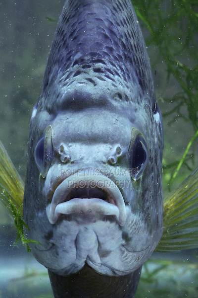 Bluegill (Lepomis macrochirus), male, Rio Grande Valley, Texas, USA