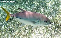0109-1210  Horse-eye Jack (Giant-eye Jack) Over Seagrass in Caribbean Reef, Gamefish, Caranx latus  © David Kuhn/Dwight Kuhn Photography