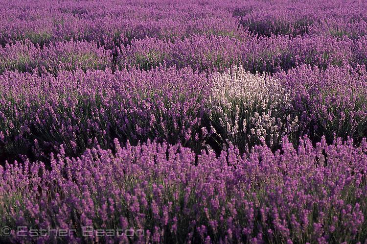 Field of French Dwarf Lavender (Lavendula angustifolia) with 1 pale bush. Near Lilydale, Tasmania.