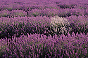 Field of French Dwarf Lavender (Lavendula angustifolia) with 1 pale bush. Near Lilydale, Tasmania.