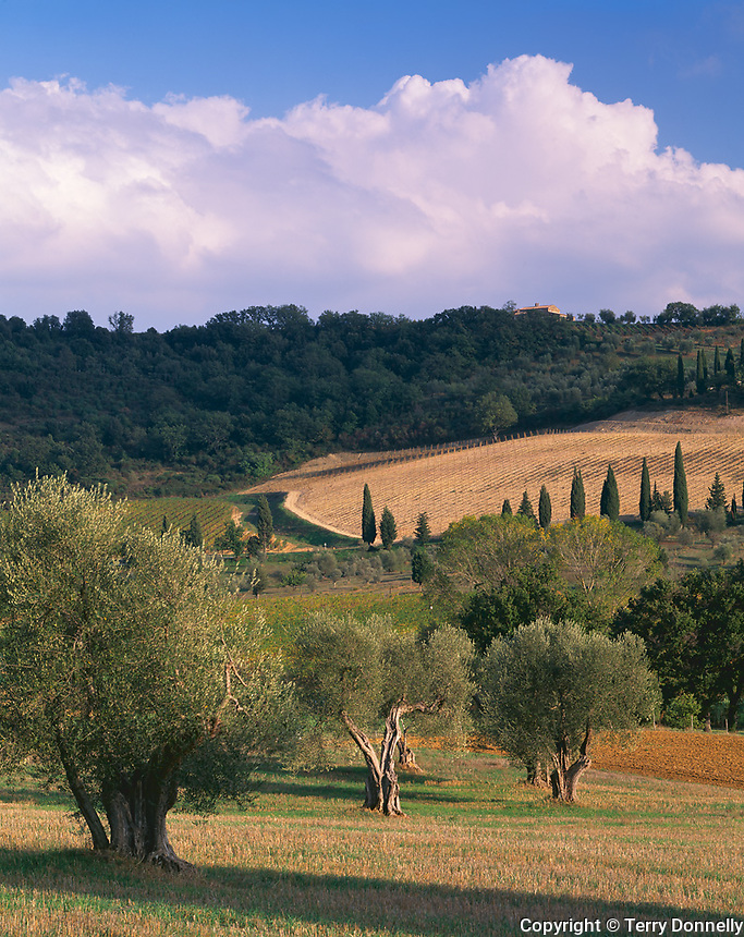 Tuscany, Italy<br /> Rolling forested hills and fields of the Val d&quot;Orcia with scattered olive and cypress trees near the village of Castelnuovo dell'Abate