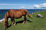 Wild horses in Cape Shiriyazaki. Aomori Prefecture. Japan.