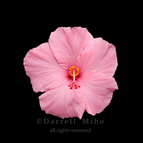 Pink Hisbiscus flower on black background.<br /> <br /> &copy; Darrell Miho