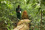 Anti-poaching snare removal team member, Godfrey Nyesiga, noting location of illegally cut wood, Kibale National Park, western Uganda