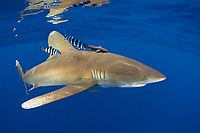oceanic whitetip shark,Carcharhinus longimanus, accompanied by pilotfish (Naucrates ductor), and remoras (Remora remora), open ocean, Hawaii ( Central Pacific Ocean )