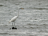 Ajijic is located near Chapala Lake, the largest lake of Mexico and you can find a lot of herons.