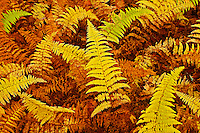 Wood ferns in autumn<br /> Baysville<br /> Ontario<br /> Canada