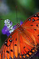 Close-up of Gulf Fritillary Agraulis Vanillae butterfly