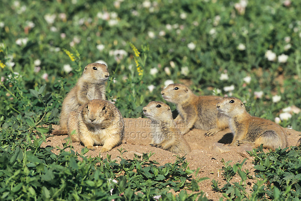 Black-tailed Prairie Dog (Cynomys ludovicianus), adult and young at den, Theodore Roosevelt National Park, Badlands, North Dakota, USA