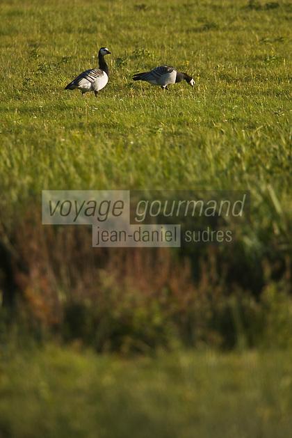 Europe/France/Picardie/80/Somme/Baie de Somme/Saint-Quentin-en-Tourmont : Parc du Marquenterre - oies sauvages