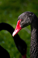 Black swan, Morton Lake, Lakeland, Florida