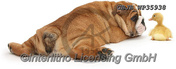 Kim, ANIMALS, REALISTISCHE TIERE, ANIMALES REALISTICOS, fondless, photos,+Bulldog pup, 11 weeks old, and yellow Duckling.,duck, ducks, ducklings, bulldog, pup, ld, and, yellow, duckling, birds, anima+ls, dogs, pets, puppies, pups, english, white background+++,GBJBWP35938,#a#, EVERYDAY