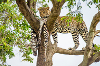 African leopard, Panthera pardus pardus, with a kill of plains zebra, Equus quagga, feeding and storing on tree, Masai Mara, Kenya, Africa