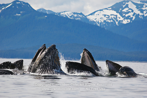 pu50353-D. Humpback Whales (Megaptera novaeangliae) bubble-net feeding. Alaska, USA, Pacific Ocean..Photo Copyright © Brandon Cole. All rights reserved worldwide.  www.brandoncole.com..This photo is NOT free. It is NOT in the public domain. This photo is a Copyrighted Work, registered with the US Copyright Office. .Rights to reproduction of photograph granted only upon payment in full of agreed upon licensing fee. Any use of this photo prior to such payment is an infringement of copyright and punishable by fines up to  $150,000 USD...Brandon Cole.MARINE PHOTOGRAPHY.http://www.brandoncole.com.email: brandoncole@msn.com.4917 N. Boeing Rd..Spokane Valley, WA  99206  USA.tel: 509-535-3489