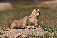 Pair of Black-tailed Prairie Dogs outside their burrow
