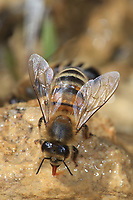 Water is important in the bee's diet. The bee uses water to moisten the honey and facilitate its ingestion. The royal jelly and the bee bread contain a great quantity. The bees also uses water for the thermoregulation of the colony. The evaporation of the water decreases the colony's temperature.<br /> L'eau est importante dans l'alimentation de l'abeille. L'abeille utilise l'eau pour humecter le miel est faciliter son ingestion. La gelée royale et le pain de pollen contiennent une grande quantité́. L'abeille utilise aussi l'eau pour la thermorégulation de la colonie. L'évaporation de l'eau permet de rafraichir la température de la colonie.