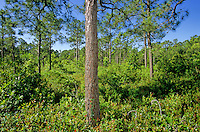 Longleaf Pine, Pinus serotina, on the Fly Trap Trail at Carolina Beach State Park, south of Wilmington, North Carolina, AGPix_0650..