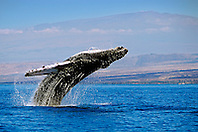 breaching humpback whale, Megaptera novaeangliae, and Mauna Kea volcanic mountain with observatories on its summit, Big Island, Hawaii, USA, Pacific Ocean