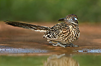 576010029 a wild greater roadrunner geococcyx californianus sits at a small pond in the rio grande valley texas united states