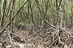 Cooya Beach, Port Douglas, Australia; mangrove roots exposed at low tide