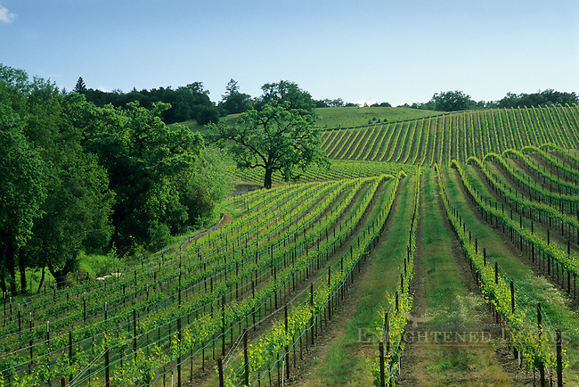 Vineyard in spring, Westside Road, near Healdsburg, Sonoma County, California