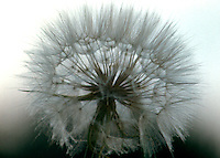 Closeup of of a large dandelion waiting for a wind to carry away its seeds.