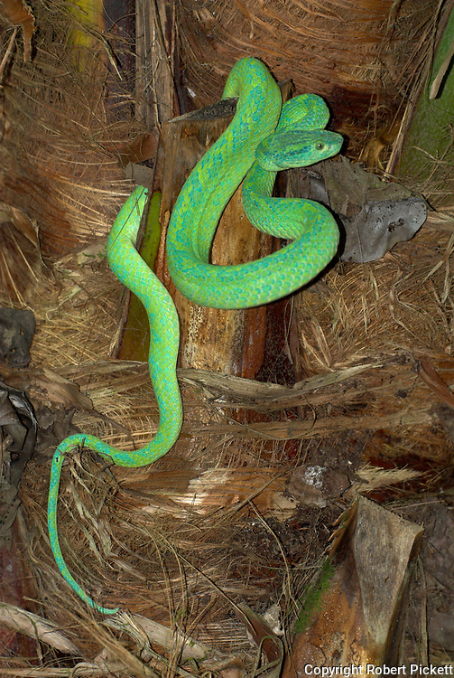 Honduran Palm Pit Viper Snake, Bothriechis marchi, Green and relatively slender with a prehensile tail, Honduras and eastern Guatemala, venemous, coiled on palm tree