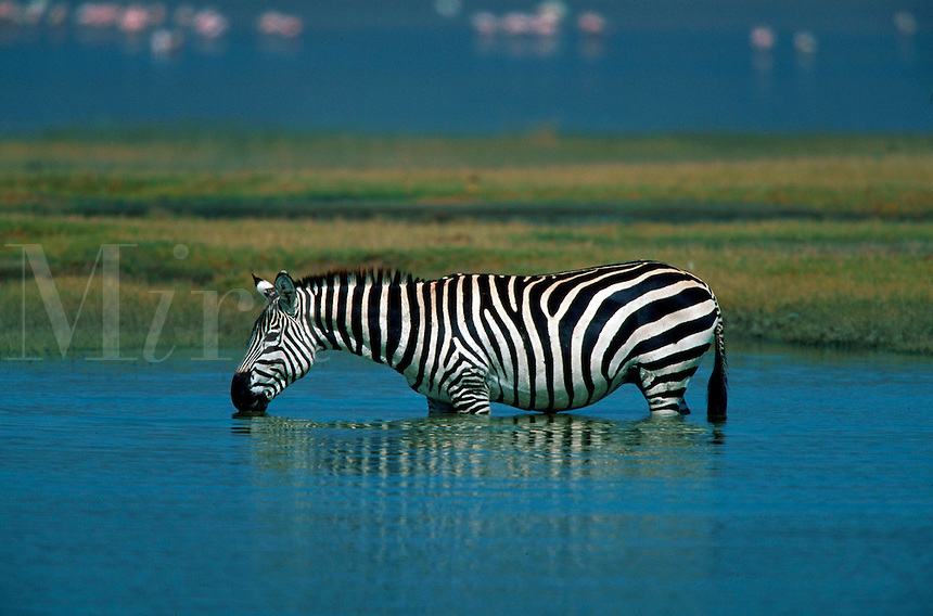 Zebra drinking lake water, Serengeti National Park, Tanzania, Africa