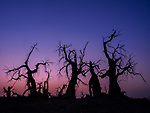 """A forest of dead trees give an eerie presence as the sun sets behind them in Xinjiang , China.<br /> <br /> The trees called, populus euphratica are one of the very few that can live in the desert due to their strong vitality. <br /> <br /> The photos were taken in an area called """"Devil Forest"""" near Shaya, Xinjiang, by landscape Photographer Kah-Wai Lin, 36, of New Jersey, USA.<br /> <br /> The Uygurs, who are native to the area, believe that the populus euphratica trees have a life span of 3000 years.  They believe the trees live for 1000 years, followed by another 1000 years of standing after death and then last a further 1000 years where they will remain without rotting having fallen to the ground.<br /> <br /> Following a successful research career at Princeton University, Dr. Lin followed his passion and became a professional landscape photographer. To date, Dr. Lin has explored and photographed some of the most diverse and remote places in over 30 countries.<br /> <br /> Please byline: Kah-Wai Lin/Solent News<br /> <br /> © Kah-Wai Lin/Solent News & Photo Agency<br /> UK +44 (0) 2380 458800"""