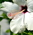 Hibiscus and Friends