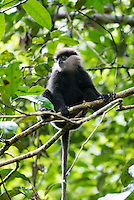Purple-faced langur (Trachypithecus vetulus), also known as the purple-faced leaf monkey, is a species of Old World monkey that is endemic to Sri Lanka. Sinharaja Forest Reserve, Sabaragamuwa Province - Sri Lanka.