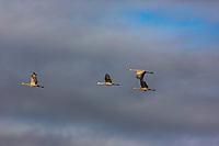 Family of sandhill cranes flying over Crex Meadows Wildlife Area.
