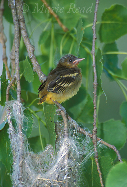 Baltimore Oriole (Icterus galbula) fledgling just out of the nest, Ithaca, New York, USA<br /> Slide # B166-308