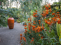 Tall orange accent container in gravel patio with Leonotis leonurus, Lion's Tail; Kuzma Garden