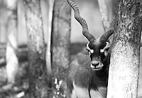 """Black & white fine art image of a sad looking black buck standing near a tree staring blankly.<br /> <br /> View the gallery - """"Wildlife"""" for the color version of this image."""