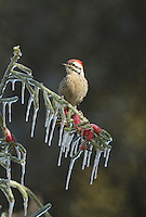 Ladder-backed Woodpecker (Picoides scalaris), adult male perched on icy branch of Christmas cholla (Cylindropuntia leptocaulis), Hill Country, Texas, USA