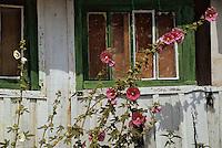 Europe/France/Poitou-Charentes/17/Charente Maritime/Ile d'Oléron/Le Chateau-d'Oléron: Maison avec ses roses trémières