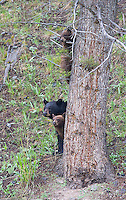This black bear family, with a black sow and two cinnamon cubs, provided great viewing and photo opportunities in 2015.  I was happy to see them together a couple more times in 2016 before the cubs went out on their own.