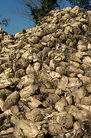 Raccolta di barbabietole da zucchero. Farmers during the harvesting of sugar beet....