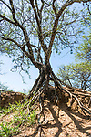An acacia tree with stilt roots on a mound at the ruins of the Zapotec city of Zaachila in the Central Valley of Oaxaca, Mexico.