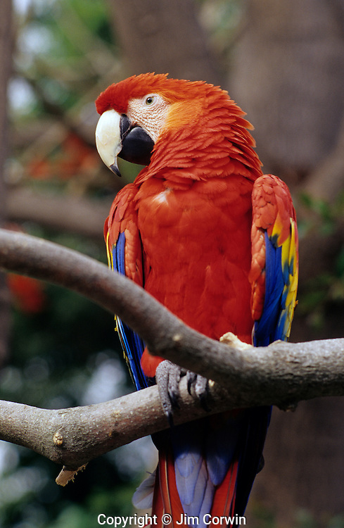 Scarlet Macaw on a tree limb at the San Diego zoo San Diego California USA