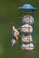 Kleiber an der Vogelfütterung, Fütterung am Meisenknödel, Knödelhalter, Fettfutter, Spechtmeise, Sitta europaea, Eurasian nuthatch. Ganzjahresfütterung, Vögel füttern im ganzen Jahr, Vogelfutter der Firma GEVO, Meisen-Knödel-Halter
