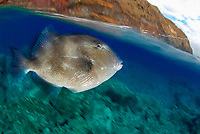 grey triggerfish, Balistes carolinensis near surface in Deserta Island