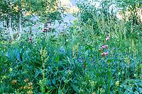 France, Hautes-Alpes (05), Villar-d'Arène, jardin alpin du Lautaret, flore locale avec lis martagon