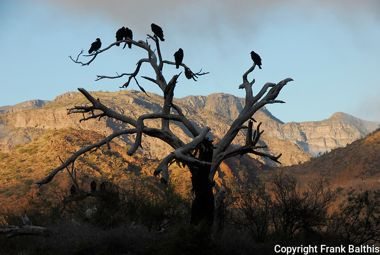 turkey vultures in morning at Agua Verde