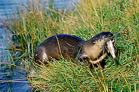River Otter (Lutra canadensis) eating small fish it has caught.  Snake River, Wyoming.  Sept.