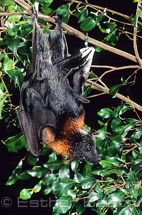 Grey-headed Flying Fox (Poliocephalus conspicillatus). Sydney, New South Wales